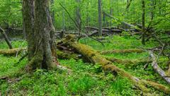Old monumental Hornbeam Trees (Carpinus betulus) and broken trees around in d Stock Photos
