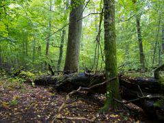 Old hornbeam moss wrapped tree and broken oak in shady rich deciduous stand i Kuvituskuvat
