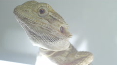 Bearded dragon (pogona) bewildered Stock Footage
