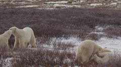 Slow motion - Four polar bears wrestle and play in arctic willows Stock Footage