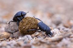 Two hard working dung beetles Stock Photos