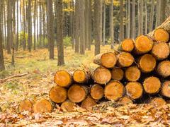 Timber Pile in a Yellow Colored Larch Forest Stock Photos