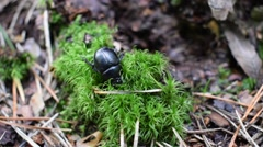 Geotrupidae - Burrowing into the moss Stock Footage