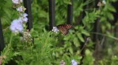 Queen Butterfly (Danaus gilippus) on purple flowers. Stock Footage