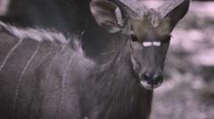 Panting Deer Staring at Me in 4K Stock Footage