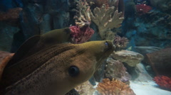 Morey with wide open mouth is resting on ocean's reefs in park aquarium. Stock Footage