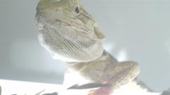 Bearded dragon (pogona) portrait  Stock Footage