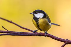 Great tit autumn background Stock Photos