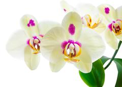 Branch of blooming yellow with lilac spots orchid flower, phalaenopsis is iso Stock Photos