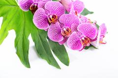 Beautiful spa concept of blooming branch stripped violet orchid (phalaenopsis Stock Photos