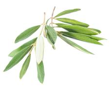 Silver green branches of an olive tree, isolated on white background Stock Photos