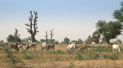 African savanna landscape - cow herd grazing on the pasture Stock Footage