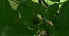 Picking green walnut Stock Footage