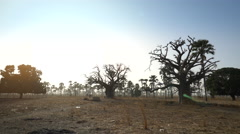 Heat African savanna landscape at sunset with baobab trees Stock Footage