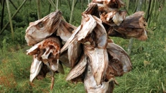 Dried cod fish heads Stock Footage