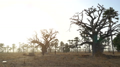 Heat African savanna landscape at sunset - with baobab trees and local men Stock Footage