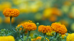 Four marigold flowers shaking with wind Stock Footage