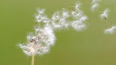 Dandelion blowing. Slow Motion. Stock Footage