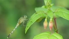 Dragonfly on fuchsia leaf Stock Footage