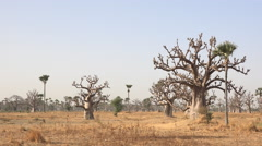 Heat African savanna, panoramic landscape - baobab trees in the background Stock Footage