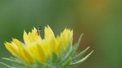 Little bee resting on the petal of flower Stock Footage
