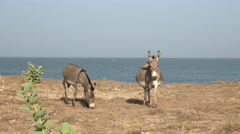 Two donkey eating on the beach - Africa Stock Footage