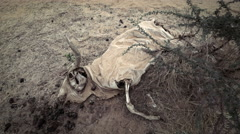 Cow corpse or carcass in the desert - Africa Stock Footage