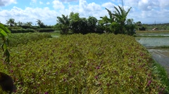 Field of purple flowers for offering and young rice plants, panning right Stock Footage