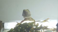 Bearded dragon (pogona) feeding Stock Footage