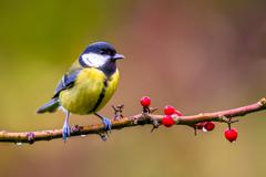 Great tit november background Stock Photos