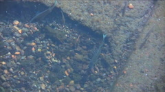 Bluegill fish on Mission Lake, Oregon. Stock Footage
