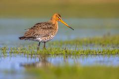 Black tailed Godwit standing in shallow water of a wetland Stock Photos