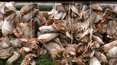 Drying of dead fish heads Stock Footage