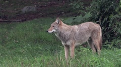 A lone coyote in a forest Arkistovideo