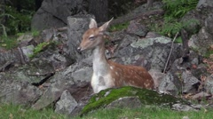 A baby deer in the woods Stock Footage