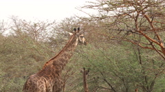 Giraffes eat leafs in the African savanna - Africa Stock Footage