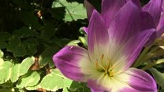 Pink crocus blooming among green leaves, static videos Stock Footage