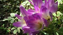 Pink crocus flowers bloom Stock Footage