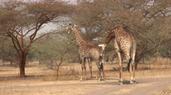 Giraffes in the African savanna - Africa Stock Footage