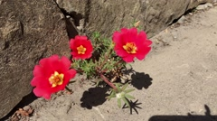 Red flower Portulaca Cherry at the curb Stock Footage