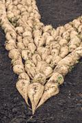 Harvested sugar beet crop root pile on the ground Stock Photos