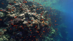 School of small red tropical fish in the coral reef - anthias, Red Sea Stock Footage