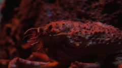 Japanese spider crab in aquarium Stock Footage