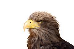 Big Sea Eagle (Haliaeetus albicill) Stock Photos