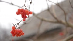 Ripe red arrowwood berries on blurred background in winter Stock Footage