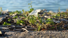 White field bindweed flower on shore near river Stock Footage
