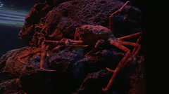 Spider crab in aquarium Stock Footage