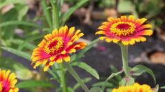 Orange Zinnia Flowers in Bloom Multicolored Flower Close-up Stock Footage