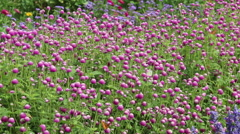 Pink Wildflower Clovers in the Garden with Butterflies Stock Footage