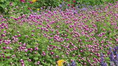 Pink Wildflower Clovers in the Garden being Pollinated Stock Footage